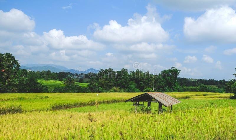 Старая хата в поле риса желтого зеленого цвета стоковое изображение