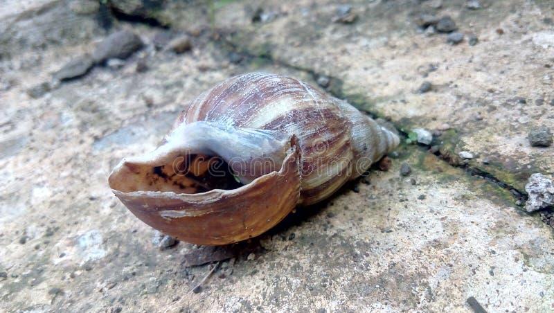 Старая хрупкая маленькая раковина clam стоковые изображения rf
