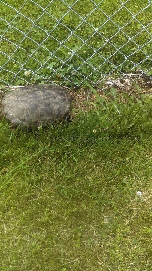 старая черепаха стоковая фотография rf