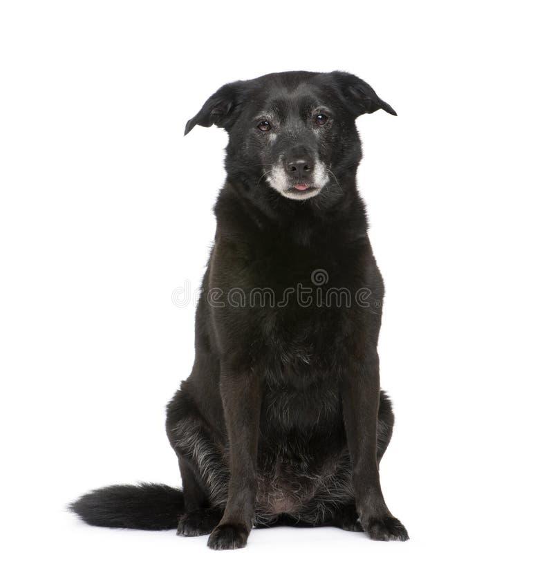 Download старая Labrador собаки Breed смешанная Стоковое Изображение - изображение насчитывающей алеаторный, отрезок: 6852643