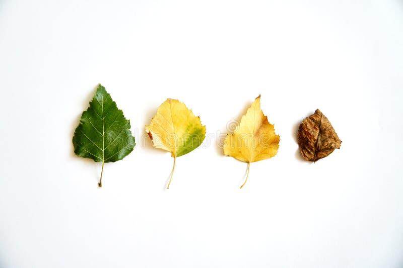 Старея листья в прогрессе, жизненном цикле Осень приезжает - октябрь -го сентябрь o стоковое фото rf