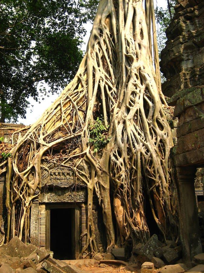 стародедовская руина корня здания angkor сидит вал стоковое изображение