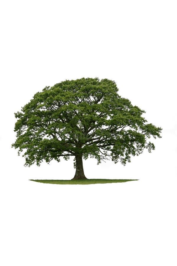 стародедовский дуб стоковое фото