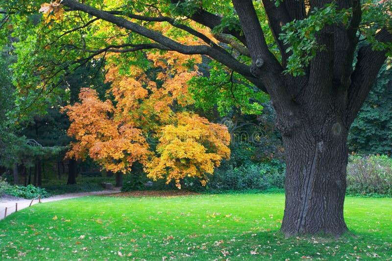 стародедовский дуб glade стоковая фотография rf