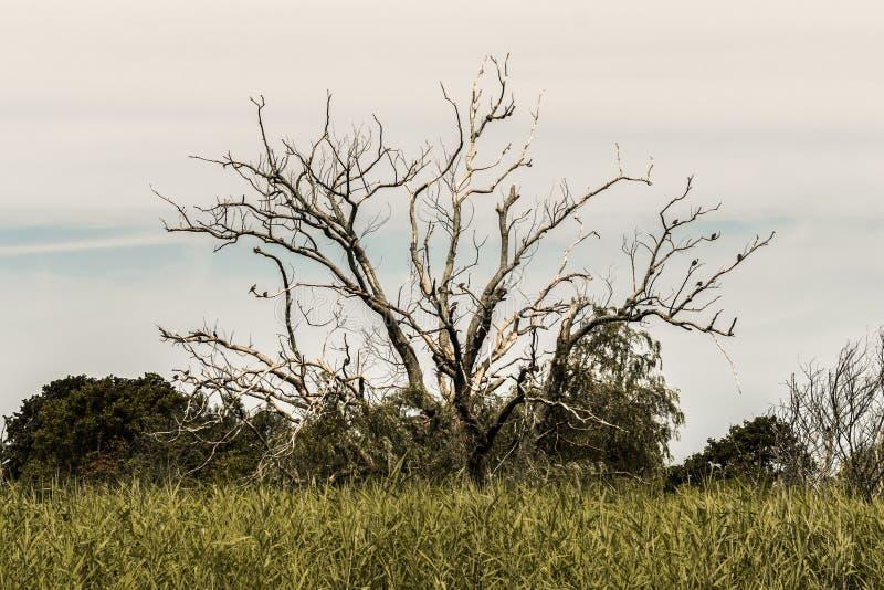 Старое безлистное сухое дерево, стоя в середине поля, с немного птиц на своих ветвях стоковое фото rf