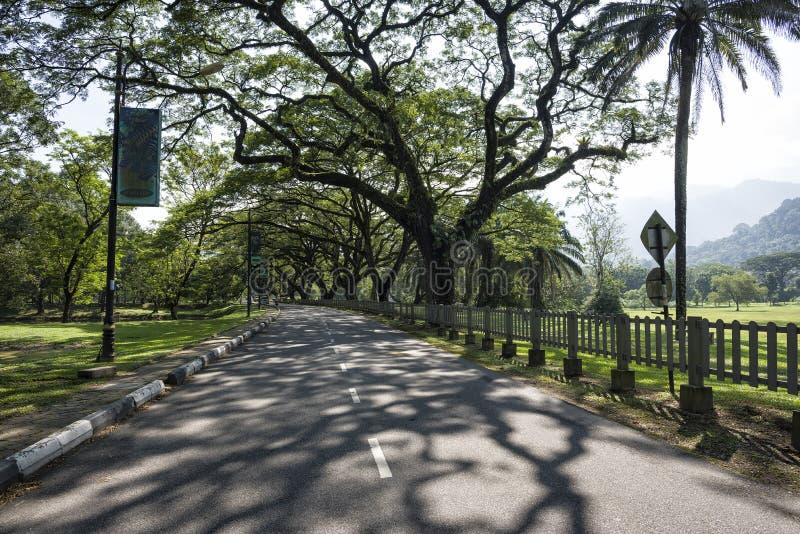Старое дерево березы с длинными ветвями вдоль сада озера Taiping, Taiping, Малайзией стоковое фото rf