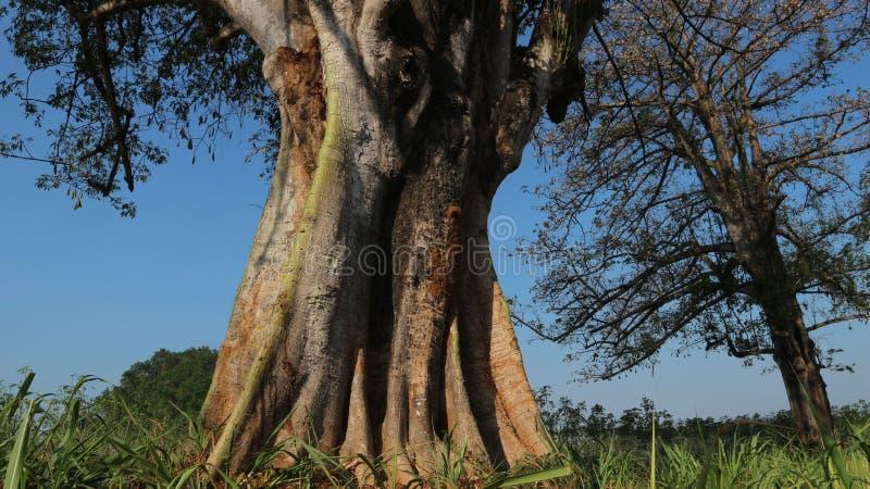 Старое дерево в зоне кукурузного поля стоковое изображение rf
