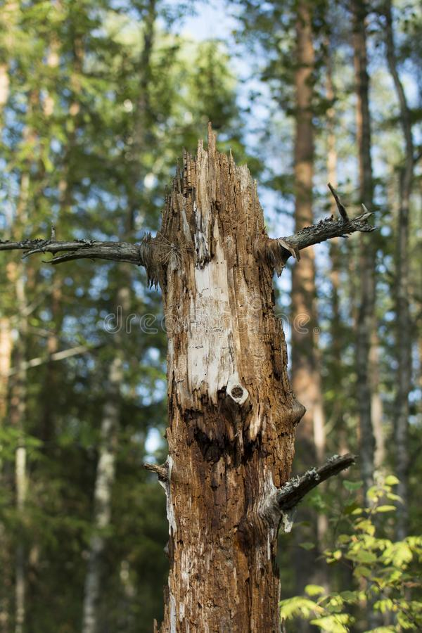 Старое дерево в пуще стоковые изображения