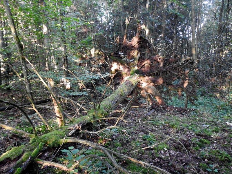 Старое дерево с мхом в лесе, Литве стоковое фото rf