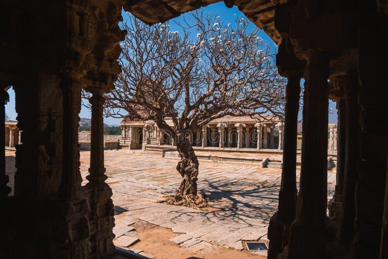 Старое дерево в дворе руин виска Vittala старых в Hampi, Karnataka, Индии стоковые изображения