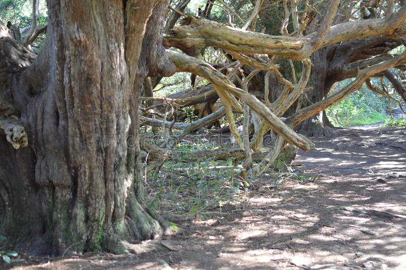 Старое дерево Yew на Вейл Kingley стоковая фотография rf