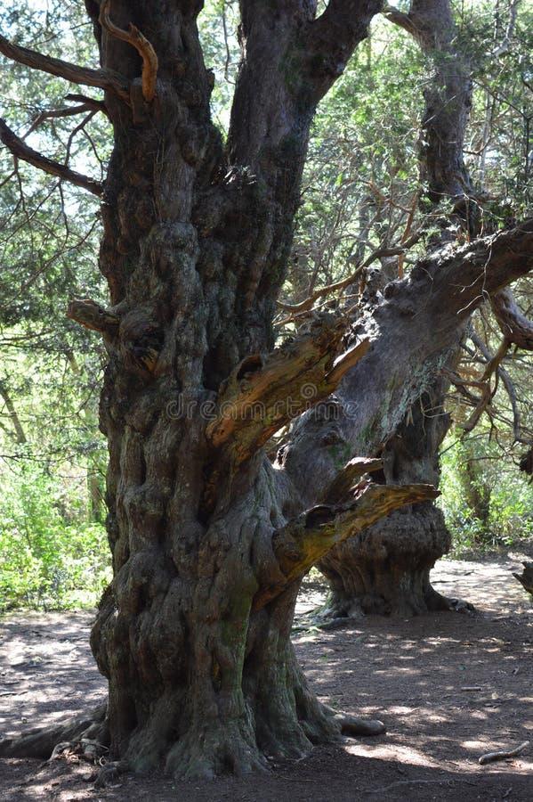 Старое дерево Yew на Вейл Kingley стоковое изображение rf