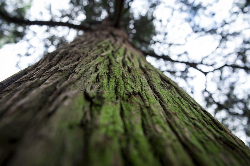 Старое зеленое дерево, деревянная предпосылка стоковое фото rf