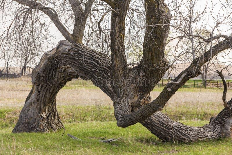 Старое изогнутое дерево, Канзас стоковые фотографии rf