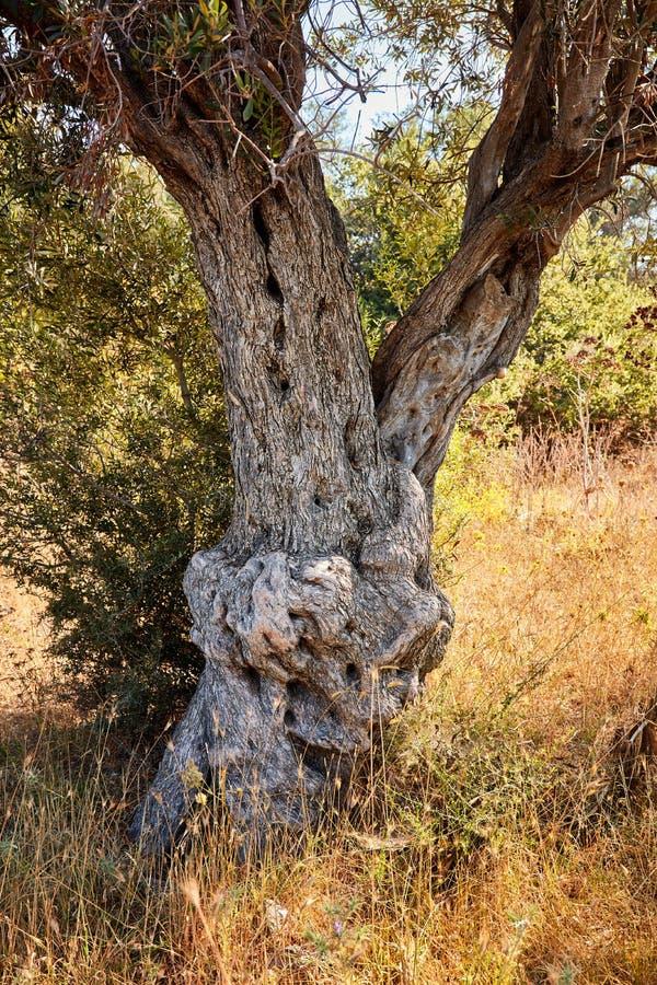 старое оливковое дерево стоковые фотографии rf