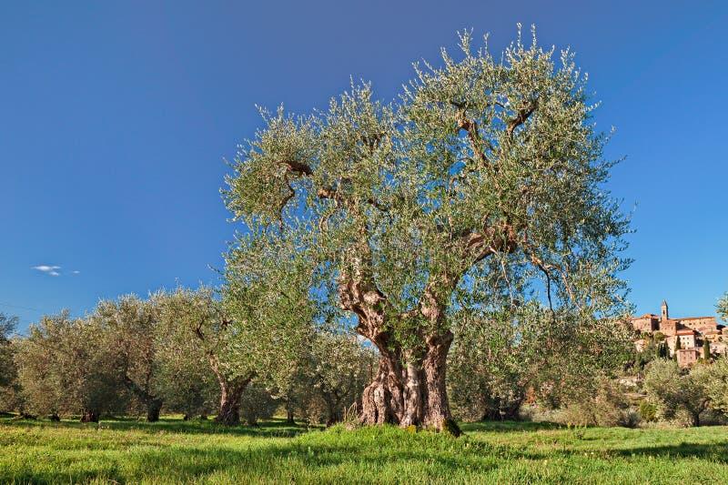 Старое оливковое дерево в Seggiano, Гроссето, Тоскане, Италии стоковое изображение