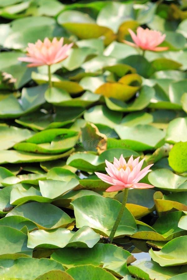 Старое розовое озеро лотоса стоковые фотографии rf
