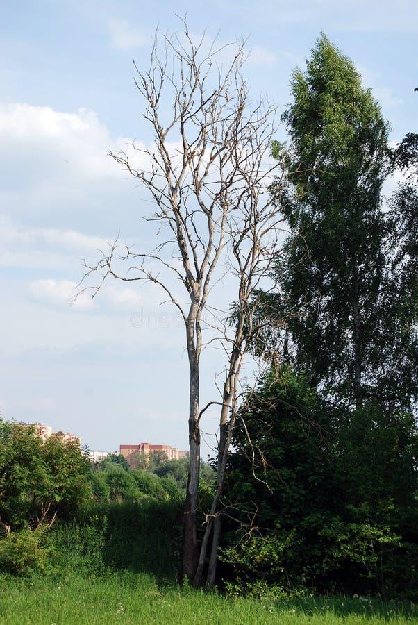 Старое сухое дерево расположено на банк реки Ландшафт ЛЕТА стоковая фотография