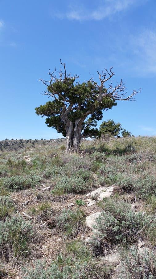 Старое уединённое дерево горы стоковое фото