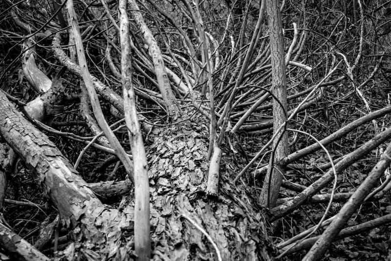 Старое упаденное дерево в фотографии леса черно-белой стоковое фото rf