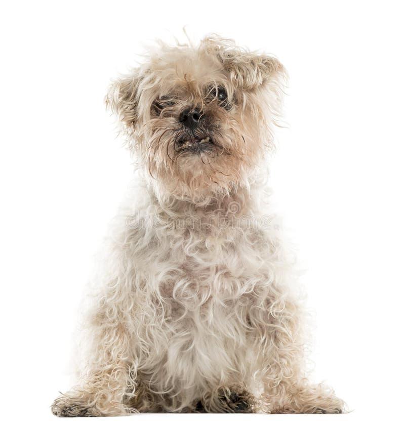 Старое уродское усаживание собаки crossbreed стоковое изображение rf