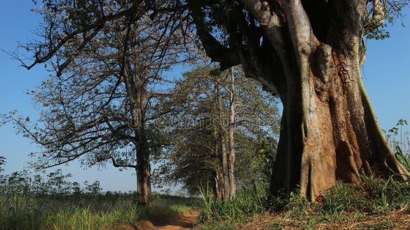 Старое хлопковое дерево с ямой стоковое фото rf