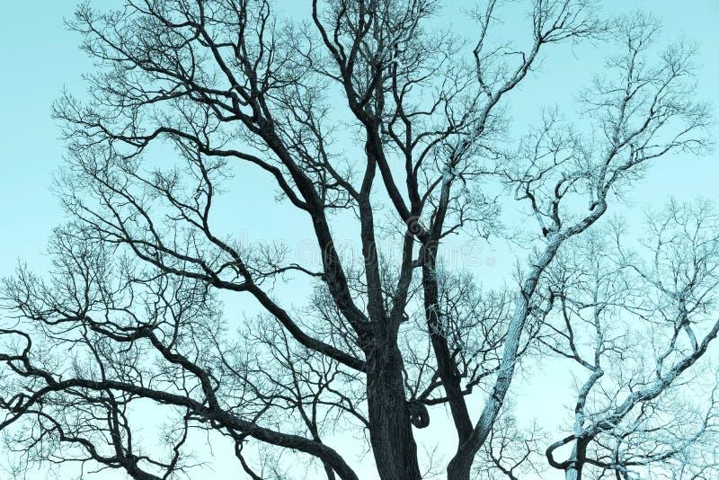 Старое branchy дерево без тона листвы monochrome голубого стоковые фото
