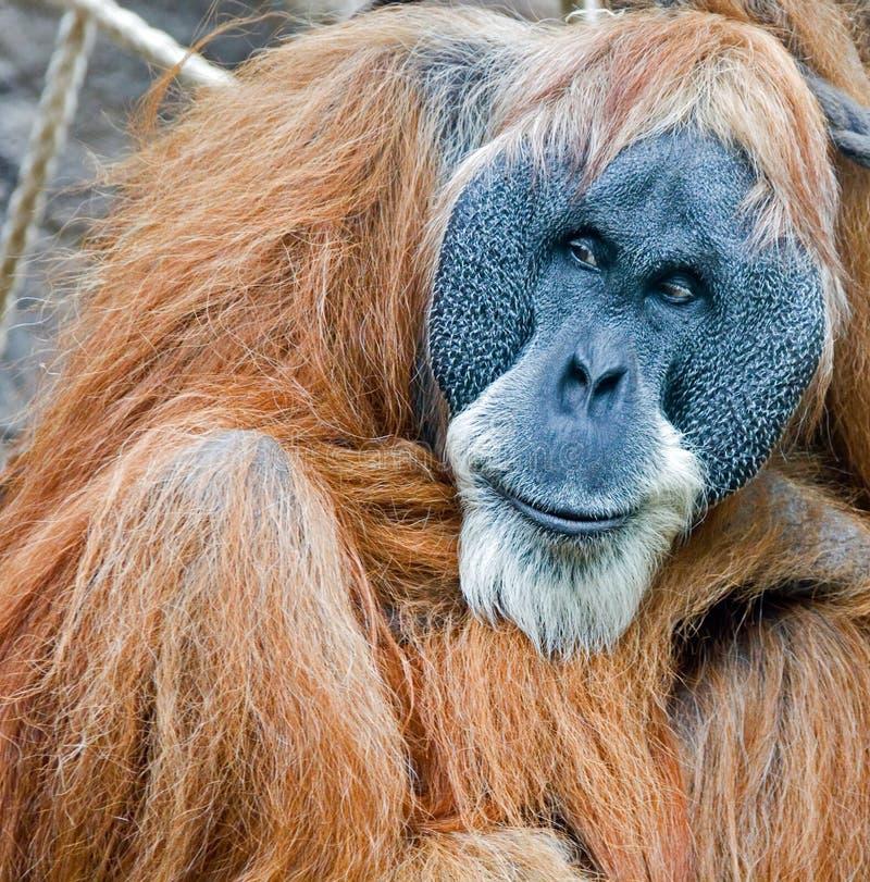 старое orang стоковые изображения rf