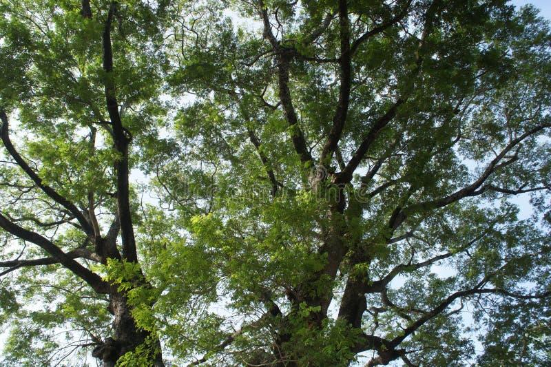 Стародедовское дерево стоковые фотографии rf
