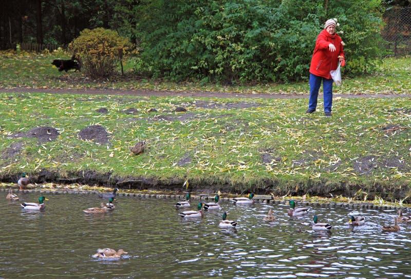 Старуха подает утки на озере стоковые изображения