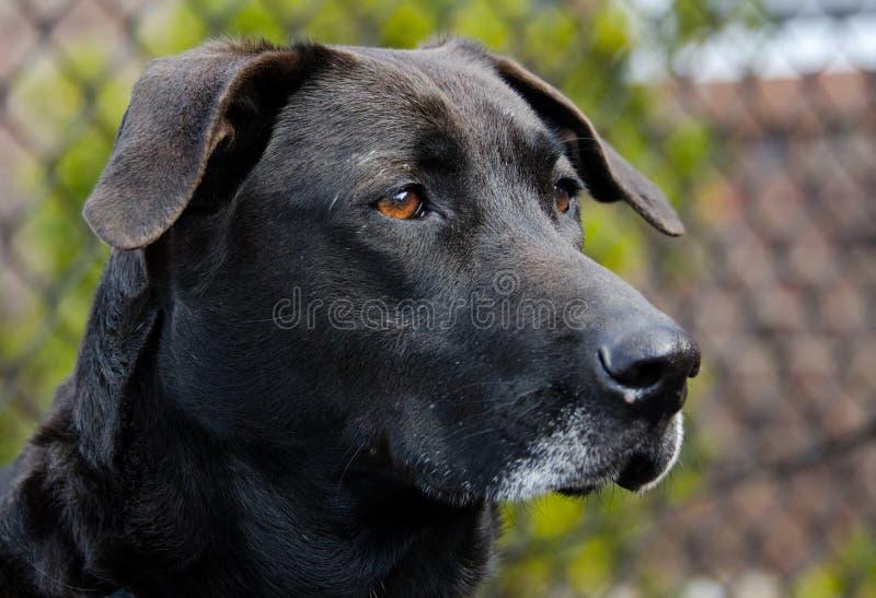 Старшая черная собака retriever labrador стоковое изображение