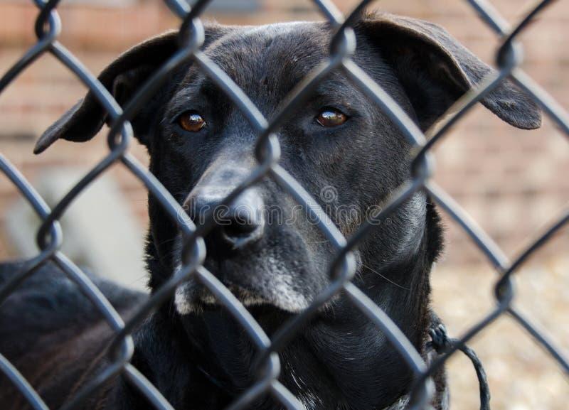 Старшая черная собака retriever labrador стоковые изображения rf