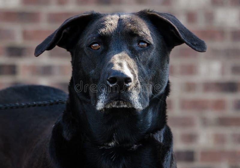 Старшая черная собака retriever labrador стоковая фотография rf