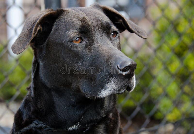 Старшая черная собака retriever labrador стоковое фото rf
