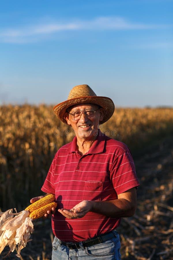 Старшее положение фермера в урожае кукурузного поля и рассматривать стоковая фотография rf