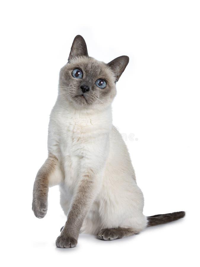 Старший кот голубого пункта тайский, изолированный на белой предпосылке стоковая фотография rf