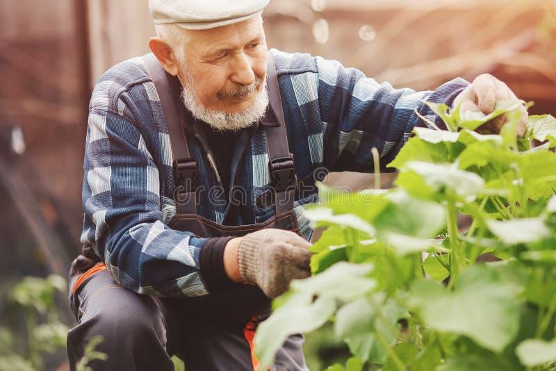 Старший мужской фермер комплектуя свежие огурцы от его оранжереи стоковое фото rf