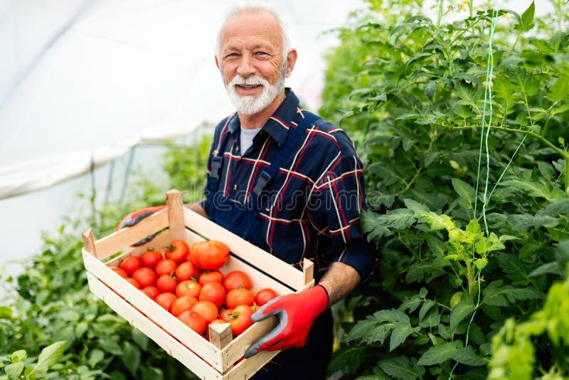 Старший садовник с корзиной сжатых овощей в саде стоковое изображение rf