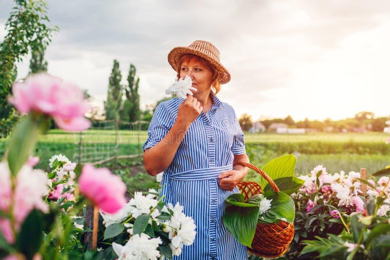 Старший сход женщины и пахнуть цветки в саде Пожилая выбытая женщина кладя пионы в корзину стоковое фото