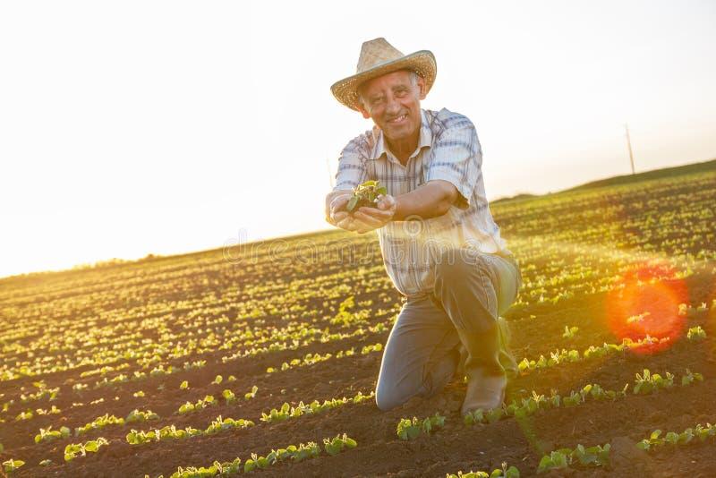 Старший фермер в поле стоковые изображения rf