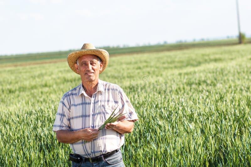 Старший фермер в поле стоковые фотографии rf