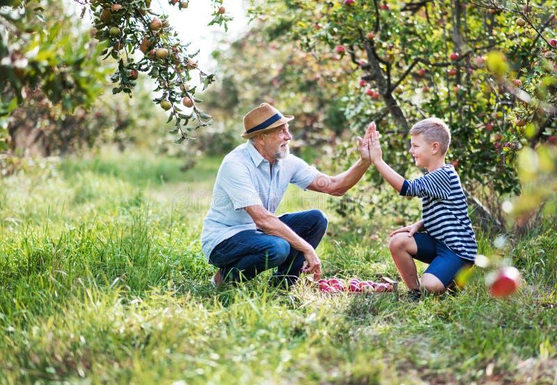 Старший человек с яблоками рудоразборки внука в саде в осени стоковое фото