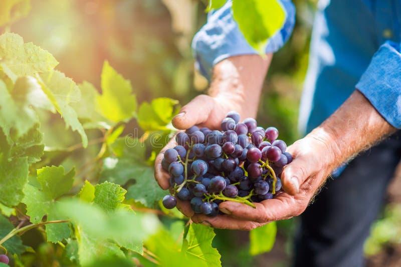 Старший человек в голубой рубашке жать виноградины в саде стоковые фотографии rf