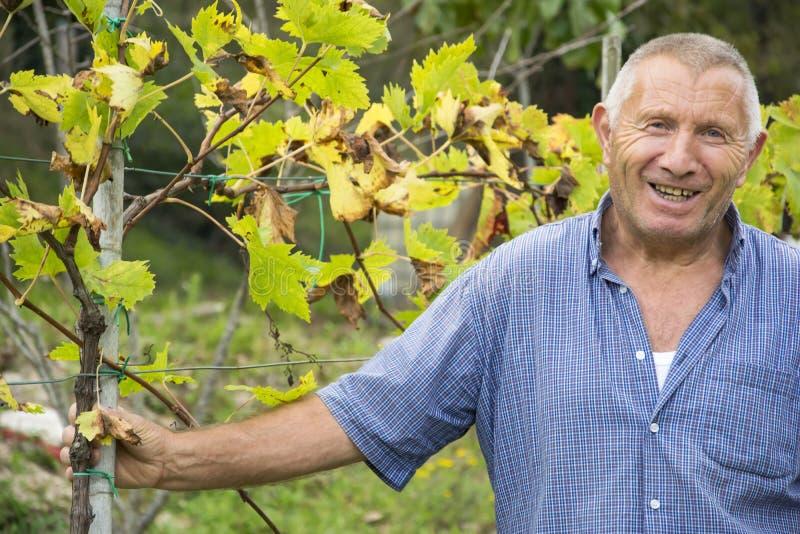 Старший человек (реальный итальянский winemaker, отсутствие модель) усмехаясь в винограднике после работы, зоны Chianti, Тосканы, стоковое изображение