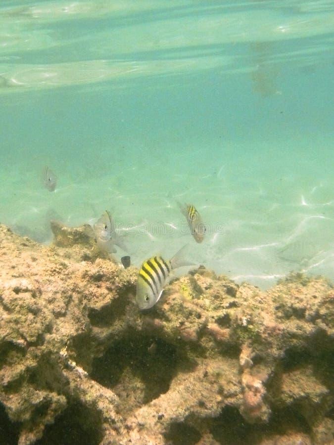 Старшина рыб в карибском море стоковое фото