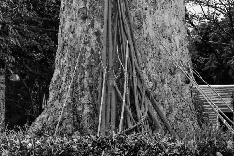 Старые большие дерево и распорка стоковые изображения rf