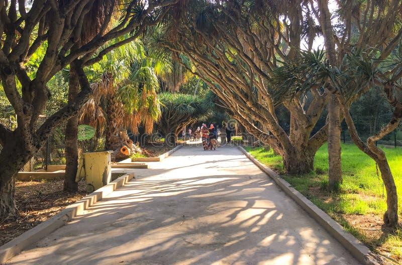 Старые деревья в ботаническом саде Hamma в Алжире Было установлено в 1832 и теперь все еще рассмотрено одно из importan стоковое изображение rf