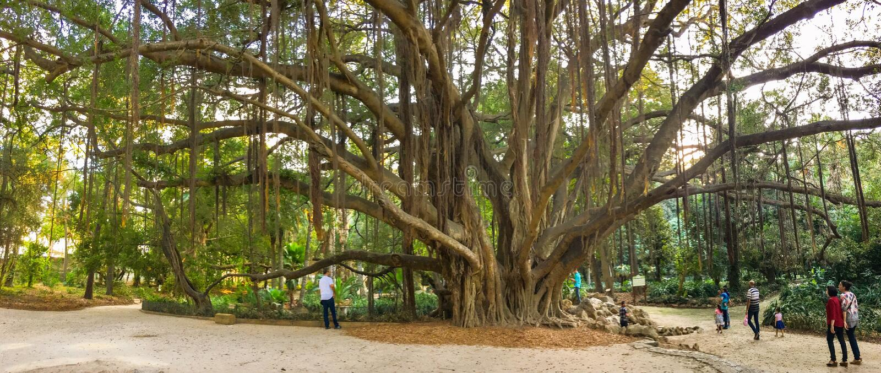 Старые деревья в ботаническом саде Hamma в Алжире Было установлено в 1832 и теперь все еще рассмотрено одно из importan стоковые изображения