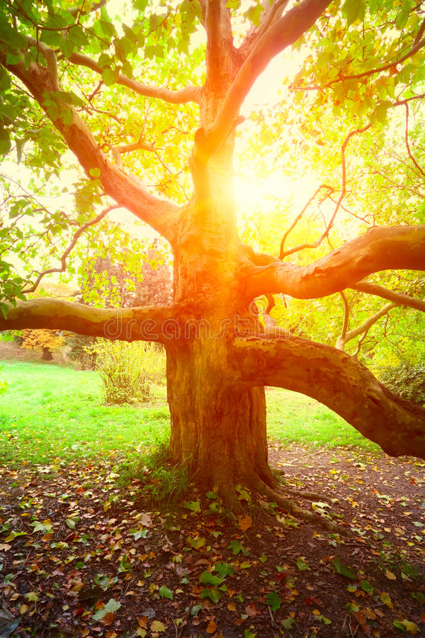 Старые дерево явора и свет солнца стоковое фото