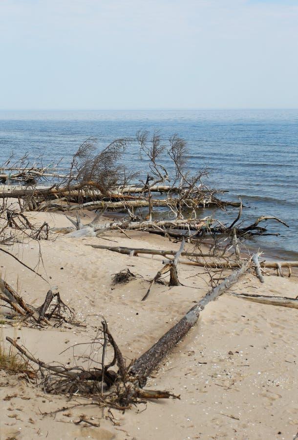 Старые деревья кладя на seashore в Латвии стоковые изображения